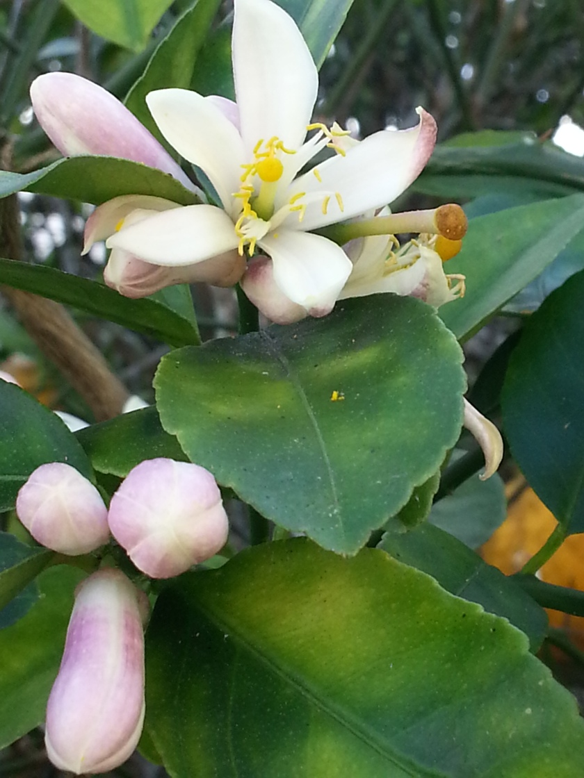 Nothing Sweeter than a Lemon Tree in Bloom!