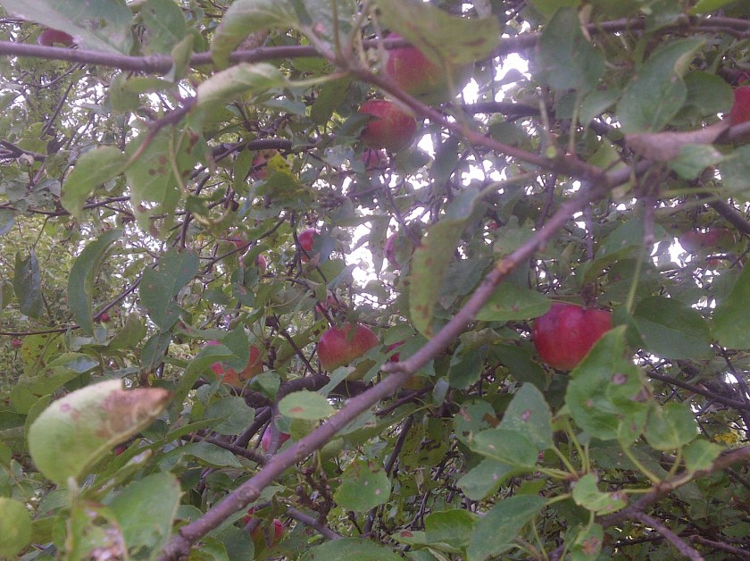 Apple Time in Pennsylvania!