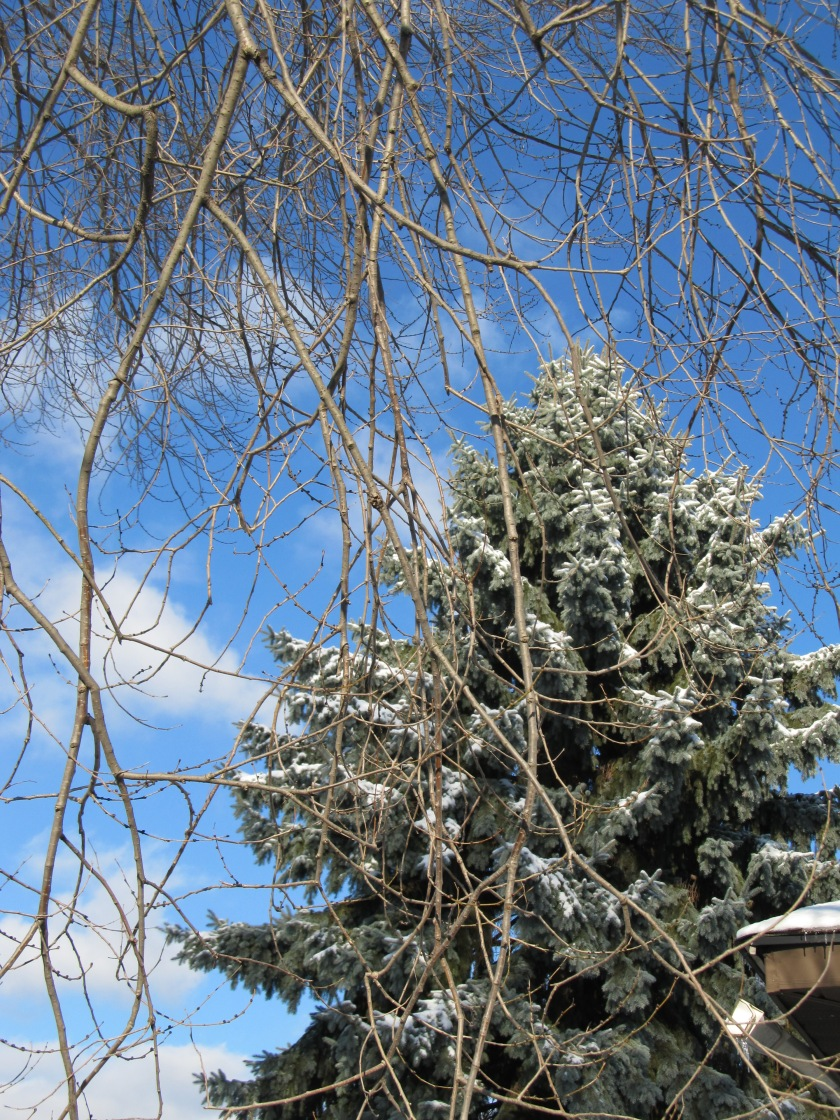 Blue spruce and Blue Winter Skies