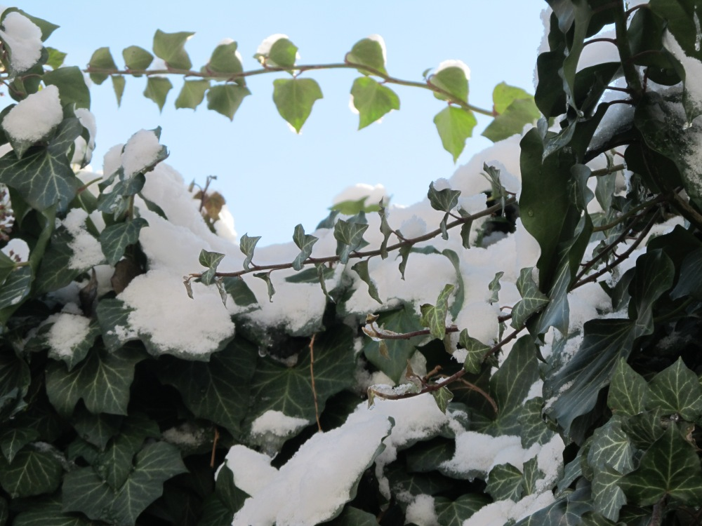 Snow on Ivy