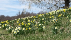 daffodils with signature