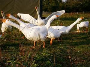 farm goose