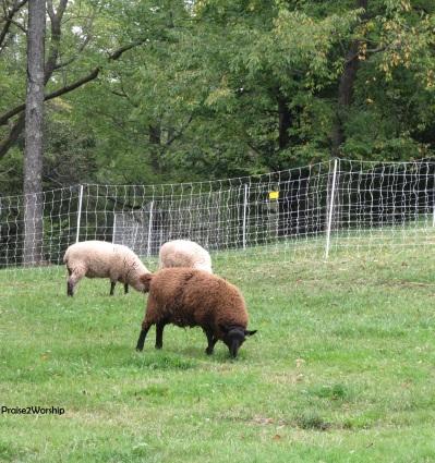 Sept-Oct sheep crop with signature