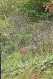hiding-deer-crop